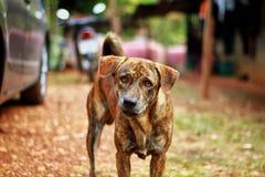 Σκυλί τιγρών Στοκ εικόνες με δικαίωμα ελεύθερης χρήσης