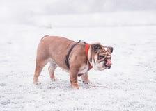 Σκυλί του κόκκινου και μαύρου αγγλικού παιχνιδιού μπουλντόγκ στο χιόνι και έξω η γλώσσα του που εξετάζει τη κάμερα στοκ φωτογραφία με δικαίωμα ελεύθερης χρήσης