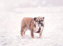 Σκυλί του κόκκινου και μαύρου αγγλικού παιχνιδιού μπουλντόγκ στο χιόνι που εξετάζει τη κάμερα στοκ φωτογραφίες με δικαίωμα ελεύθερης χρήσης