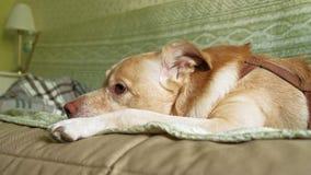 Σκυλί του Λαμπραντόρ που βρίσκεται στο κρεβάτι απόθεμα βίντεο