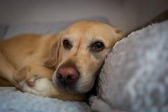 Σκυλί του Λαμπραντόρ στο Μιλάνο στοκ φωτογραφίες με δικαίωμα ελεύθερης χρήσης