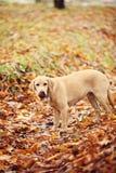Σκυλί του Λαμπραντόρ στοκ εικόνες