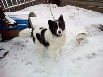 Σκυλί το Yakutian Λάικα στοκ εικόνες