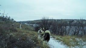 Σκυλί των γεροδεμένων τρεξιμάτων malamute φυλής σε σε αργή κίνηση το χειμώνα σε ένα χιονώδες νησί στη μέση του ποταμού και των βρ απόθεμα βίντεο