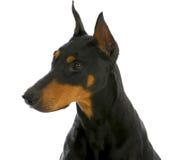 Σκυλί φρουράς Στοκ φωτογραφία με δικαίωμα ελεύθερης χρήσης