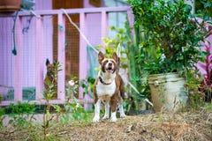 Σκυλί φυλάκων που προστατεύει το σπίτι στην εφεδρική επιφυλακή στοκ εικόνες