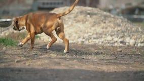 Σκυλί φυλής μπόξερ φιλμ μικρού μήκους