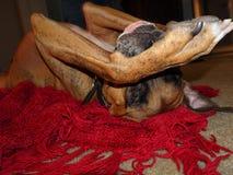 Σκυλί φ σε ένα μαλακό κόκκινο κάλυμμα Στοκ Εικόνες