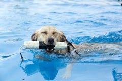 Σκυλί χαμόγελου που ανακτά ένα παιχνίδι και που παίζει στη λίμνη στοκ εικόνες