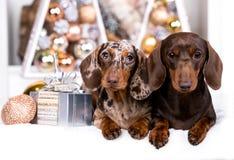 Σκυλί Χριστουγέννων κουταβιών dachshund Στοκ Εικόνες
