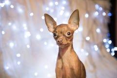 Σκυλί Χριστουγέννων στο κρεβάτι με το κόκκινο μαντίλι στοκ εικόνα με δικαίωμα ελεύθερης χρήσης