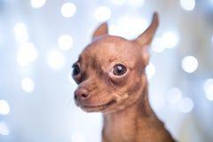 Σκυλί Χριστουγέννων στο κρεβάτι με το κόκκινο μαντίλι στοκ εικόνες