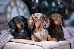Σκυλί Χριστουγέννων dachshund κάτω από ένα θερμό κάλυμμα Στοκ Φωτογραφίες