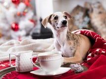 Σκυλί Χριστουγέννων whippet Στοκ εικόνες με δικαίωμα ελεύθερης χρήσης