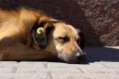 Σκυλί ύπνου με την κίτρινη ετικέττα προσδιορισμού αυτιών που σημαίνει αποστειρωμένος στοκ εικόνα με δικαίωμα ελεύθερης χρήσης