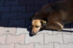 Σκυλί ύπνου με την κίτρινη ετικέττα προσδιορισμού αυτιών που σημαίνει αποστειρωμένος στοκ φωτογραφία με δικαίωμα ελεύθερης χρήσης