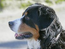 σκυλί 3 berner συμπαθητικό Στοκ εικόνες με δικαίωμα ελεύθερης χρήσης