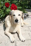 σκυλί Στοκ φωτογραφία με δικαίωμα ελεύθερης χρήσης