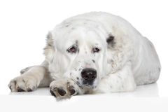 Σκυλί Alabay Στοκ Εικόνα