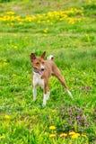 Σκυλί Basenji του καφετιού χρώματος σε έναν πράσινο τομέα Στοκ Εικόνα