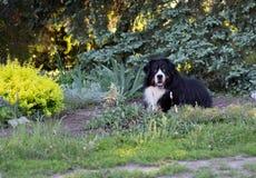 Σκυλί, bernese σκυλί βουνών, που βρίσκεται στη χλόη το καλοκαίρι, περπάτημα, έκθεση, ποιμένας στοκ εικόνες με δικαίωμα ελεύθερης χρήσης
