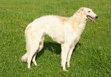 σκυλί borzoi thoroughbred Στοκ φωτογραφία με δικαίωμα ελεύθερης χρήσης