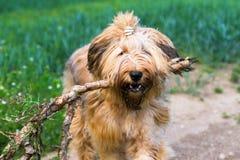 Σκυλί briard με το ραβδί στο στόμα του Στοκ φωτογραφία με δικαίωμα ελεύθερης χρήσης