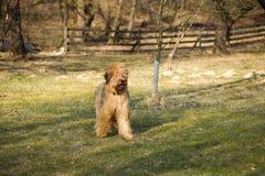 Σκυλί briard στον αγροτικό κήπο Στοκ φωτογραφία με δικαίωμα ελεύθερης χρήσης