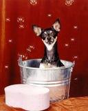 Σκυλί Chihuahua στη σκάφη λουτρών με τις φυσαλίδες Στοκ εικόνα με δικαίωμα ελεύθερης χρήσης