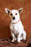 σκυλί chihuahua Στοκ Φωτογραφία