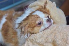 Σκυλί Chihuahua Στοκ Εικόνα