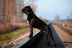 Σκυλί corso καλάμων που στέκεται στους σιδηροδρόμους Στοκ εικόνες με δικαίωμα ελεύθερης χρήσης
