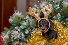 Σκυλί Dachshund που φορά τα ελαφόκερες ταράνδων Χριστουγέννων στοκ φωτογραφία