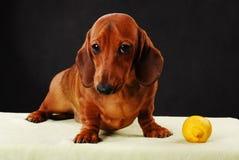 Σκυλί Dachshund pupy στην ποιοτική κάρτα στούντιο Στοκ φωτογραφία με δικαίωμα ελεύθερης χρήσης