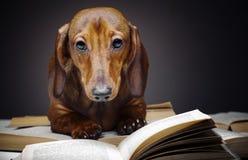 Σκυλί Dachshund pupy στην ποιοτική κάρτα στούντιο Στοκ φωτογραφίες με δικαίωμα ελεύθερης χρήσης