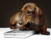 Σκυλί Dachshund pupy στην ποιοτική κάρτα στούντιο Στοκ Φωτογραφίες