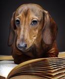 Σκυλί Dachshund pupy στην ποιοτική κάρτα στούντιο Στοκ Εικόνες