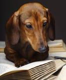 Σκυλί Dachshund pupy στην ποιοτική κάρτα στούντιο Στοκ Εικόνα