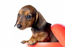 Σκυλί Dachshund pupy στην ποιοτική κάρτα στούντιο Στοκ Φωτογραφία