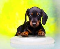 Σκυλί Frisbee μωρών κουταβιών Dachshund στην ποιότητα στούντιο Στοκ φωτογραφία με δικαίωμα ελεύθερης χρήσης