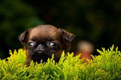 Σκυλί Griffon στον ανθίζοντας θερινό κήπο Στοκ Εικόνες