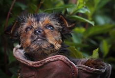 Σκυλί Griffon στον ανθίζοντας θερινό κήπο Στοκ φωτογραφία με δικαίωμα ελεύθερης χρήσης
