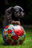 Σκυλί Griffon στον ανθίζοντας θερινό κήπο Στοκ Φωτογραφία