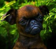 Σκυλί Griffon στον ανθίζοντας θερινό κήπο Στοκ Φωτογραφίες