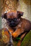 Σκυλί Griffon στον ανθίζοντας θερινό κήπο Στοκ εικόνες με δικαίωμα ελεύθερης χρήσης
