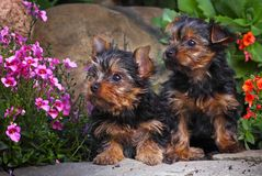 Σκυλί Griffon στον ανθίζοντας θερινό κήπο Στοκ Εικόνα