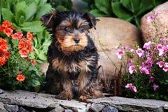 Σκυλί Griffon στον ανθίζοντας θερινό κήπο Στοκ εικόνα με δικαίωμα ελεύθερης χρήσης