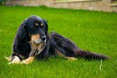 σκυλί hovawart στοκ εικόνες