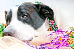 σκυλί hungover που κοιτάζει στοκ φωτογραφία