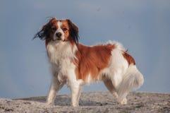 Σκυλί Kooiker στοκ φωτογραφίες